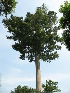 Un grand arbre dans la forêt de Missahohé