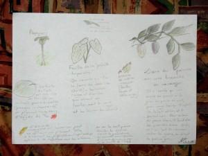 Planche botanique dessinée par Elise